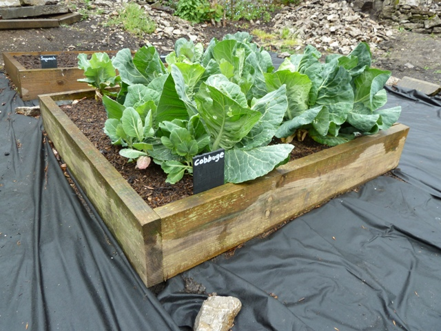 Cabbages in Tideswell community garden